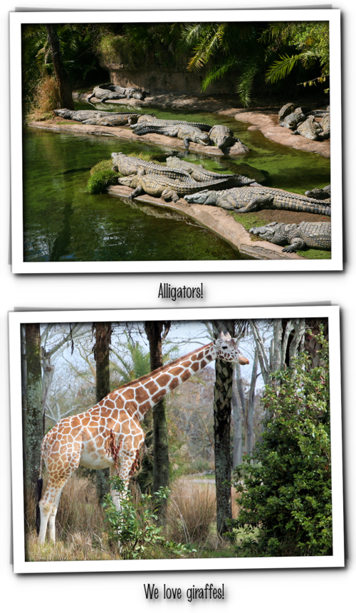 Animal kingdom alligators and giraffes