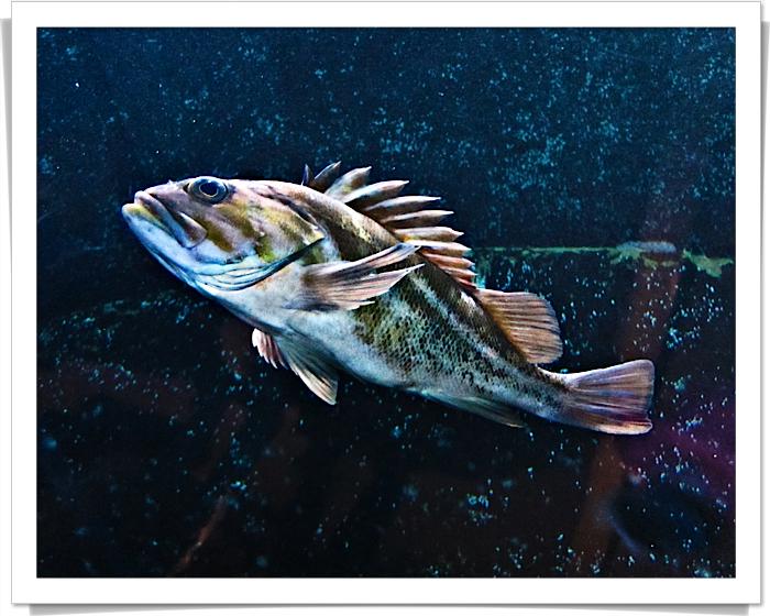 San francisco-1657 strange fish sharpen