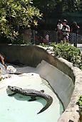 20070824 c alligator